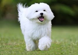 most beautiful dogs wallpapers. Delighful Wallpapers Most 35 Maltese Dog Animal Photos Desktop HD Wallpapers To Beautiful Dogs N
