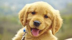 Image result for Puppies For Sale Dogs New York, USA, Page 2022