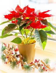 Weihnachtsstern Blume Kostenloses Stock Bild Public Domain