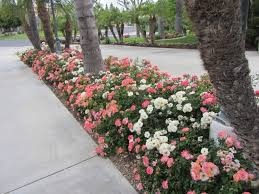 Small Picture Best 25 Drift roses ideas on Pinterest Ground cover roses