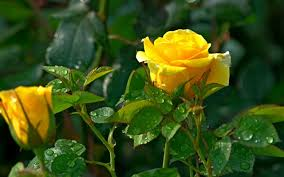 yellow rose flowers images free wallpaper