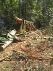 imagem de Seringueiras Rondônia n-18