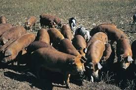 swine flu disease com between 25 and 30 percent of pigs worldwide carry antibodies to swine influenza viruses which