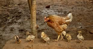 Raising Backyard Chickens For Eggs  Arguments  Pinterest Backyard Chicken Blog