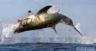 great white shark jumping. Brilliant Great Snapshot34jpg And Great White Shark Jumping E