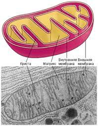 Контрольная работа по теме Строение клетки класс биология   Контрольная работа по теме Строение клетки 10 класс