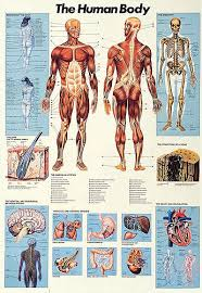 poster samples anatomy organ pictures samples collection human anatomy poster