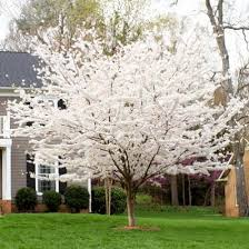 Charming Design Landscaping Trees Magnificent Good Trees For The Good Trees For Backyard