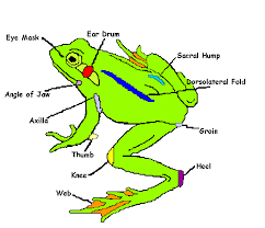 Parts Of A Frog Untitled Document