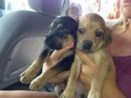 corgi lab mix puppies. Contemporary Mix Beagle Lab Mix Puppies For Sale Intended Corgi Lab Mix Puppies U