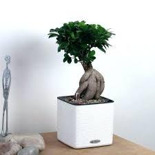 office bonsai tree. Wonderful Bonsai Magnificent Office Bonsai Tree With For Good Hutae Me