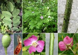 Rosa pendulina L. - Portale sulla flora del Parco Naturale Dolomiti ...