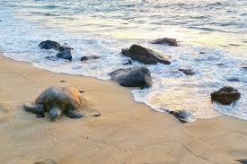 Laniakea Beach To See Turtles On Oahu Hawaii