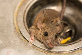 coming across a dead rat is a disgusting and horrifying sight hopefully you never have to experience it firsthand however if you do it s important to