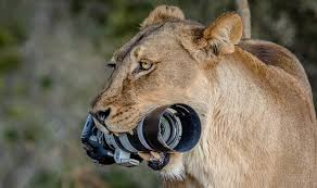 lioness. Delighful Lioness Lioness With Camera On R