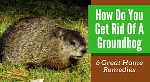 getting rid of groundhogs mothballs. Plain Groundhogs In Getting Rid Of Groundhogs Mothballs
