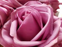 Rose Color Meanings For Every Color Rose Readers Digest