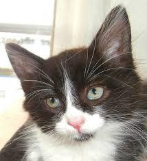 black and white kitten semi longhair