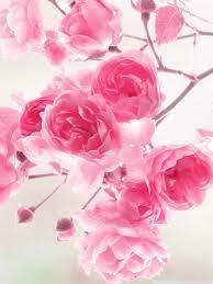 Photos Full Hd Pink Rose Wallpaper