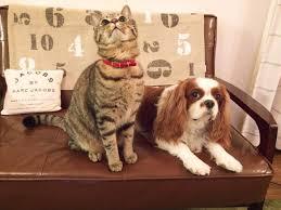 cavalier cat