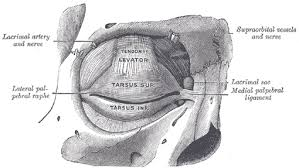 suspensory ligament of lockwood. 894\u2013 the tarsi and their ligaments. right eye; front view. suspensory ligament of lockwood