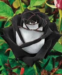 match your sentiment to a rose to express yourself beautifully i love flowers flowers beautiful roses beautiful flowers
