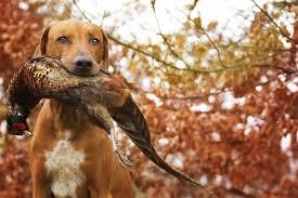 Slikovni rezultat za hunting dog names