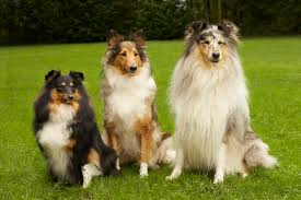 stus show dogs can recognize their pas and siblings but whether that recognition is based on scent or some other factor is still not known for