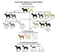 Labrador Color Chart Chesapeake Bay Retriever Color Chart Goldenacresdogs Com