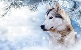 Husky, Beautiful Dog, Winter, Snow, Cute Animals, Dogs - Cute Snow Snow Wallpaper Husky (#3250330) - HD Wallpaper & Backgrounds Download