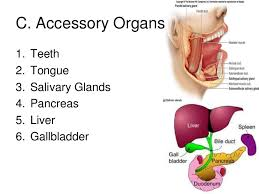 Accessory Organs Of The Digestive System Inspiration Digestive System