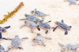 baby sea turtle hatching in cozumel