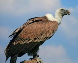 Vulture Characteristics Species Facts Britannica