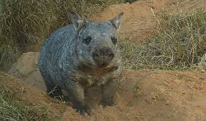 Northern hairy nosed wombat photos
