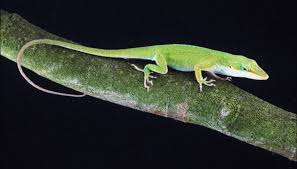 How To Attract Green Anole Lizards Sciencing