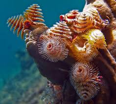 Christmas Tree Worm Off The Coast Of Southern Florida Photo Christmas Tree Worm Facts