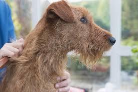 Irish Terrier Stock Photos Download 866 Royalty Free Photos