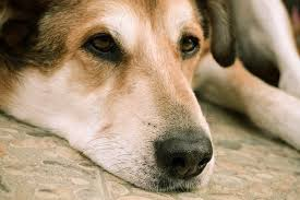 euthanize dog at home