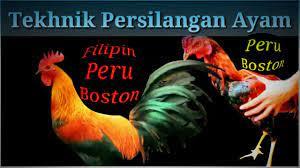February 15, 2019 at 7:18 am danaonline said. Tutoril Ayam Peru Boston Youtube