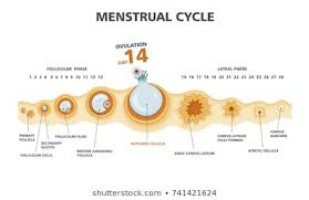 Menstrual Cycle Phases Chart Ovulation Cycle Stock Vectors Images Vector Art