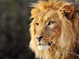 Leo The Lion, animal, cat, face, lion ...