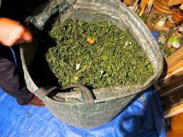 collecting medicinal plants a photo essay  collecting medicinal plants