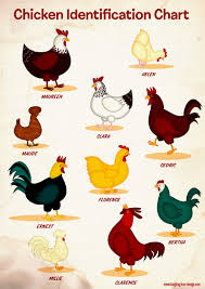 Chicken Identification Chart Laughing Lion Design Learn