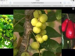 Birambi Is Called Cermai In Indonesia  Fruits  Pinterest Jamaican Fruit Trees