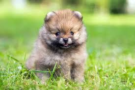 Teacup Pomeranian A K A Miniature Pomeranian Ultimate
