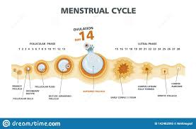 Ovulation Chart Ovulation Chart Female Menstrual Cycle Stock Vector
