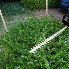 Trimming the Top of Boxwoods with a Hedge Trimmer.