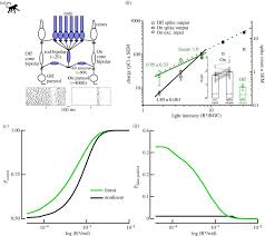 processing of single photon responses in the mam an on and off figure
