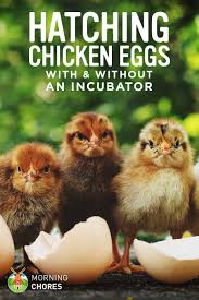 hatching eggs how to hatch your en eggs with and without an incubator
