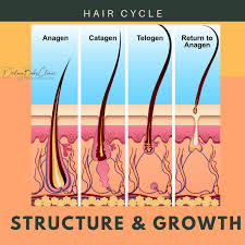 hair follicles detailed insight into